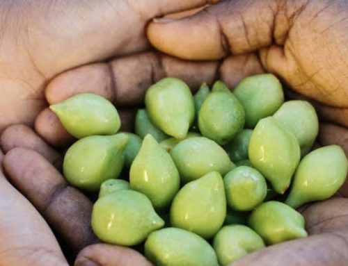 Native Kakadu Plum is a high source of vitamin C for Skin